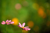 pink flowers stock photography | Alabama, Wildflowers, image id 2-556-43