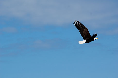 image 5-650-1073 Alaska, Kodiak, Bald eagle in flight