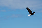 clear sky stock photography | Alaska, Kodiak, Bald eagle in flight, image id 5-650-1073