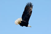 clear sky stock photography | Alaska, Kodiak, Bald eagle in flight, image id 5-650-1084
