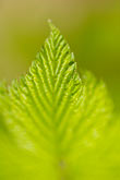 arctic stock photography | Alaska, Kodiak, Green leaf, image id 5-650-1650