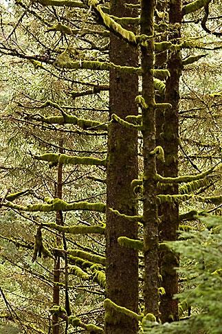 image 5-650-1671 Alaska, Kodiak, Spruce forest