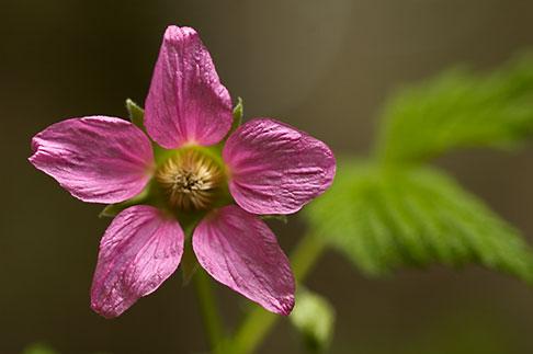 image 5-650-1684 Alaska, Kodiak, Salmonberry blossom