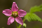 northwest stock photography | Alaska, Kodiak, Salmonberry blossom, image id 5-650-1684
