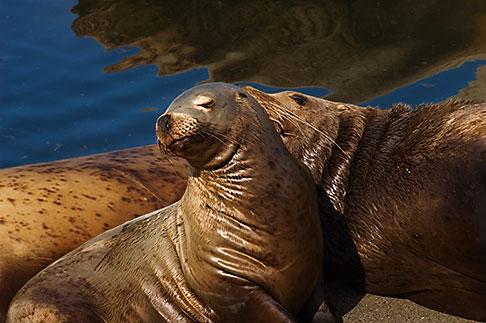 image 5-650-1747 Alaska, Kodiak, Sea Lions