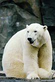 white stock photography | Alaska, Anchorage, Polar Bear, Alaska Zoo, image id 5-650-3126