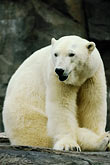 white stock photography | Alaska, Anchorage, Polar Bear, Alaska Zoo, image id 5-650-3127