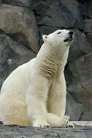 image 5-650-3128 Alaska, Anchorage, Polar Bear, Alaska Zoo