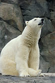 white stock photography | Alaska, Anchorage, Polar Bear, Alaska Zoo, image id 5-650-3128