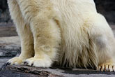 white stock photography | Alaska, Anchorage, Polar Bear, Alaska Zoo, image id 5-650-3146