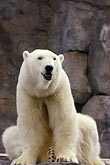 white stock photography | Alaska, Anchorage, Polar Bear, Alaska Zoo, image id 5-650-3154