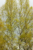 refined stock photography | Alaska, Anchorage, Tree with spring leaves, image id 5-650-3174