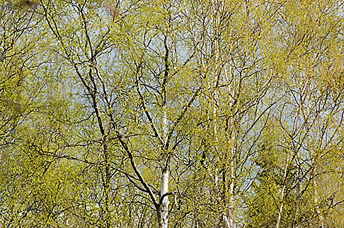 image 5-650-3177 Alaska, Anchorage, Tree with spring leaves