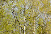 arctic stock photography | Alaska, Anchorage, Tree with spring leaves, image id 5-650-3177