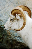 curved stock photography | Alaska, Anchorage, Dall sheep, Alaska Zoo, image id 5-650-3211