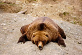 sleepy stock photography | Alaska, Anchorage, Alaska Zoo, Brown bear, image id 5-650-3244