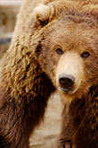 threaten stock photography | Alaska, Anchorage, Alaska Zoo, Brown bear, image id 5-650-3254