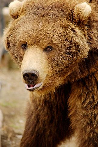 image 5-650-3256 Alaska, Anchorage, Alaska Zoo, Brown bear