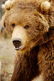 west stock photography | Alaska, Anchorage, Alaska Zoo, Brown bear, image id 5-650-3256