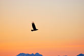 sunlight stock photography | Alaska, Kodiak, Eagle over Chiniak Bay, image id 5-650-4357