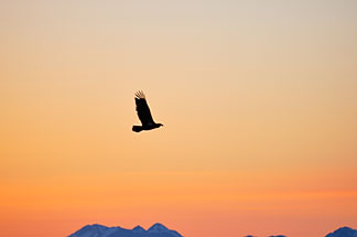 5-650-4357  stock photo of Alaska, Kodiak, Eagle over Chiniak Bay