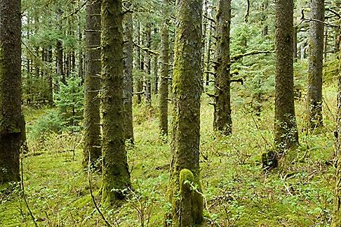 image 5-650-4439 Alaska, Kodiak, Spruce Forest