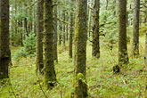 tree trunk stock photography | Alaska, Kodiak, Spruce Forest, image id 5-650-4439