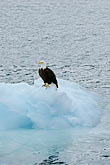 frigid stock photography | Alaska, Prince WIlliam Sound, Bald eagle on ice floe, image id 5-650-553