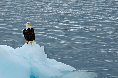 Alaska, Prince WIlliam Sound, Bald eagle on ice floe | David ...
