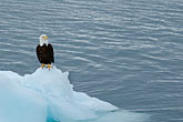 single minded stock photography | Alaska, Prince WIlliam Sound, Bald eagle on ice floe, image id 5-650-559