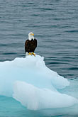 frigid stock photography | Alaska, Prince WIlliam Sound, Bald eagle on ice floe, image id 5-650-565