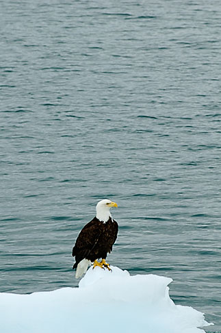 image 5-650-567 Alaska, Prince WIlliam Sound, Bald eagle on ice floe