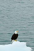 white stock photography | Alaska, Prince WIlliam Sound, Bald eagle on ice floe, image id 5-650-567