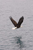 flight stock photography | Alaska, Prince William Sound, Bald eagle, image id 5-650-569