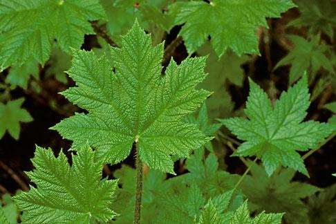 image 8-350-7 Alaska, Southeast, Leaves