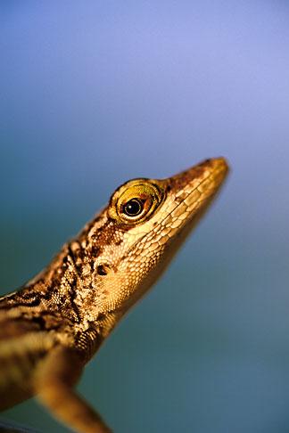 image 4-600-22 Antigua, Anole lizard