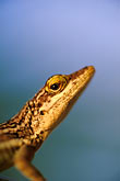 alert stock photography | Antigua, Anole lizard, image id 4-600-22