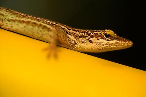 image 4-600-3 Antigua, Anole lizard