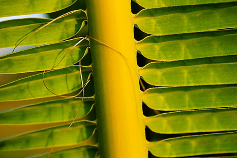 image 4-600-4 Antigua, Palm frond