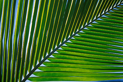 image 4-600-45 Antigua, Palm frond