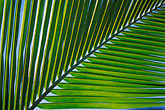verdant stock photography | Antigua, Palm frond, image id 4-600-45
