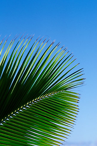 image 4-600-84 Antigua, Palm frond