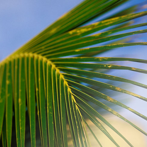 image 4-600-937 Plants, Palm fronds