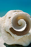 sea life stock photography | Antigua, Spiral shell, image id 4-600-96