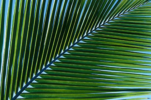 image 4-602-60 Antigua, Palm frond