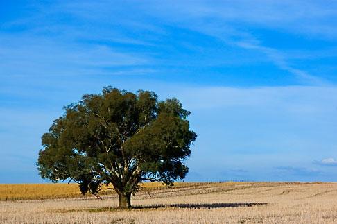 image 5-600-1810 Australia, New South Wales, Eucalyptus tree in field