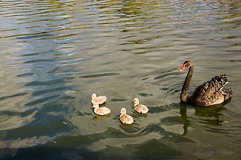 image 5-600-2379 Birds, Black swan and cygnets
