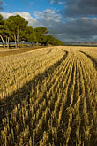 row stock photography | Australia, South Australia, McLaren Vale, Hay field, image id 5-600-2433