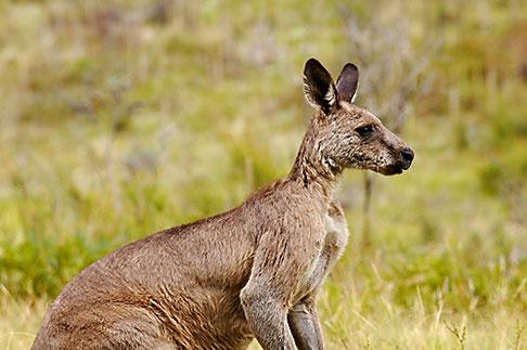 image 5-600-7949 Animals, Eastern Grey Kangaroo Macropus giganteus