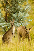 looking up stock photography | Animals, Eastern Grey Kangaroos (Macropus giganteus), image id 5-600-7953